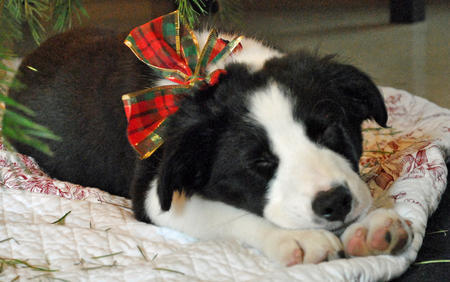 Archer the Border Collie Pictures 1031672