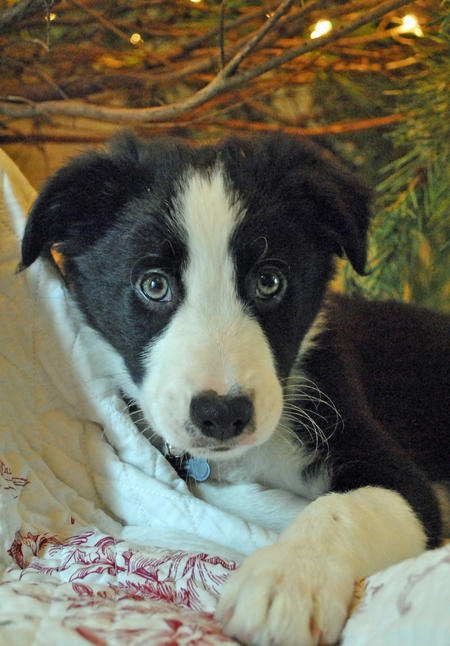 Archer the Border Collie Pictures 1031675