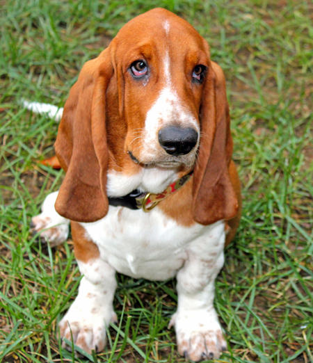 Archie the Basset Hound Pictures 930411
