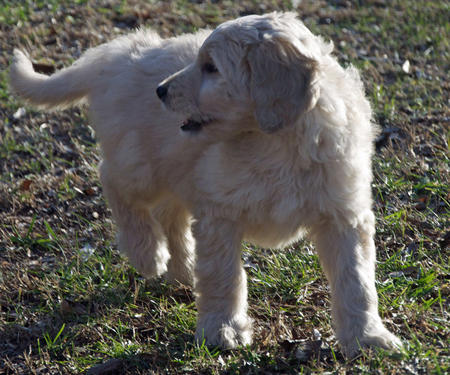Archie the Goldendoodle Pictures 946954