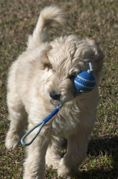 Archie the Goldendoodle Pictures 946956