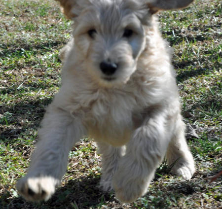 Archie the Goldendoodle Pictures 946958