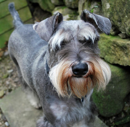 Archie the Miniature Schnauzer Pictures 691050
