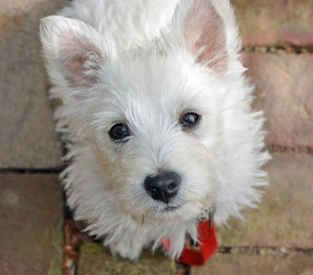 Archie the West Highland Terrier Pictures 967832