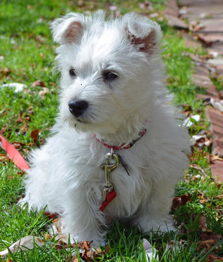 Archie the West Highland Terrier Pictures 967833