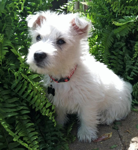 Archie the West Highland Terrier Pictures 967834