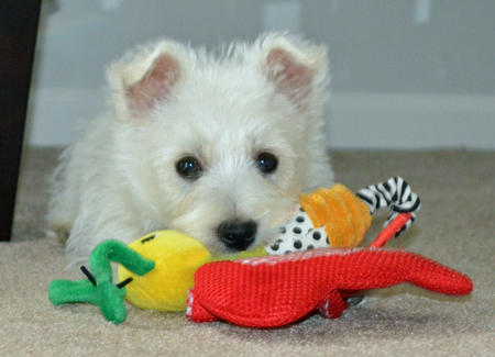Archie the West Highland Terrier Pictures 967835