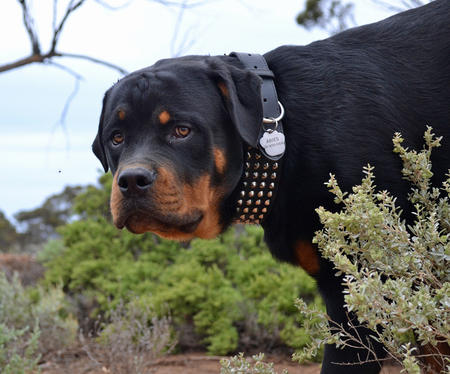 Aries the Rottweiler Pictures 947896