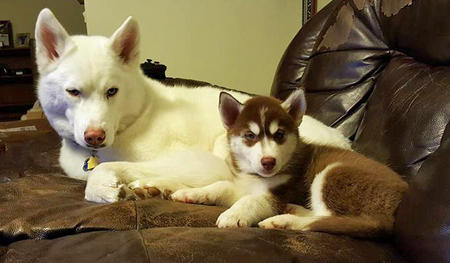 Arizona the Husky Pictures 1047304