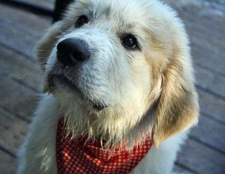 Arnie the Great Pyrenees Pictures 883027