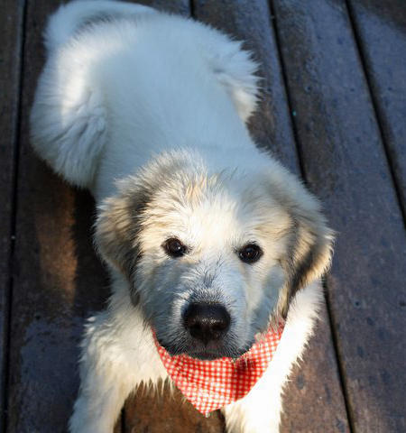 Arnie the Great Pyrenees Pictures 883030