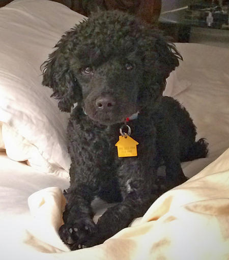 Art the Miniature Poodle Pictures 1035563