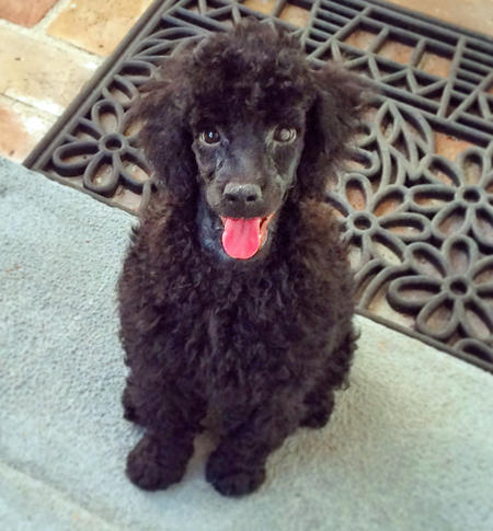 Art the Miniature Poodle Pictures 1035564