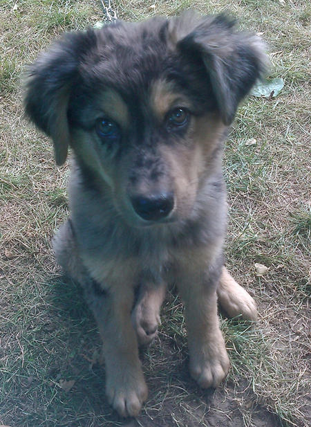 Arthur the Australian Shepherd Mix Pictures 911165
