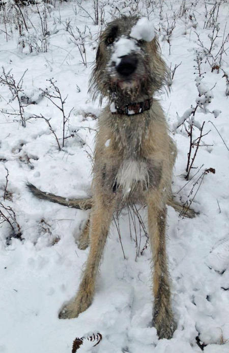 Arwyn the Irish Wolfhound Pictures 944604