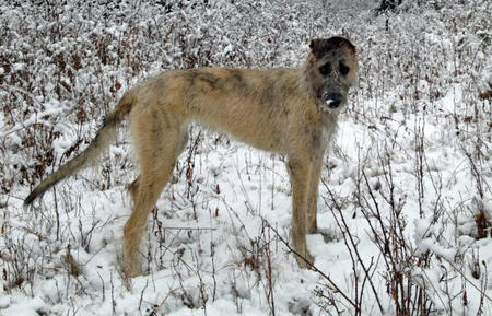 Arwyn the Irish Wolfhound Pictures 944609