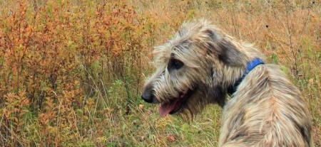 Arwyn the Irish Wolfhound Pictures 944610