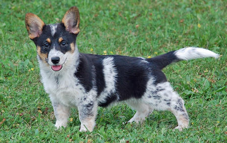 Arya the Corgi Mix Pictures 825198