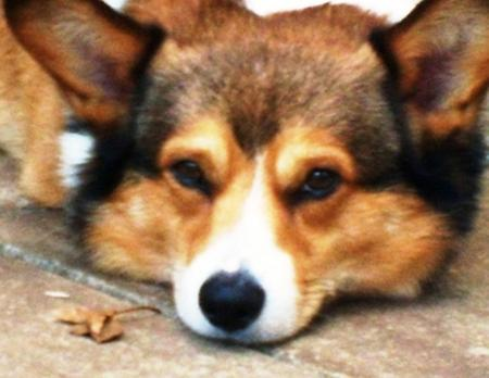 Astro the Pembroke Welsh Corgi Pictures 955339