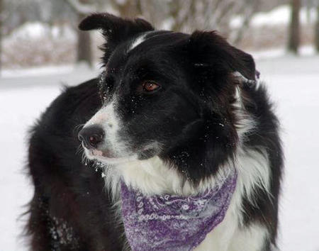 Atreya the Border Collie Pictures 449023