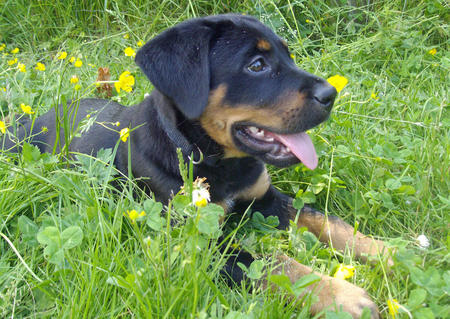 Atticus the Rottweiler Mix Pictures 1053831