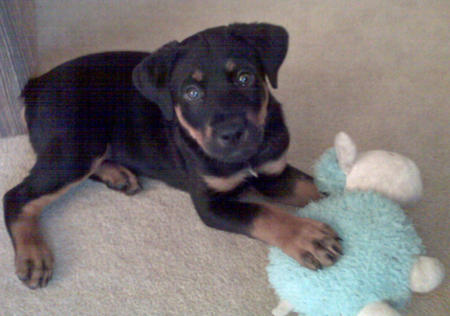 Atticus the Rottweiler Mix Pictures 1053833
