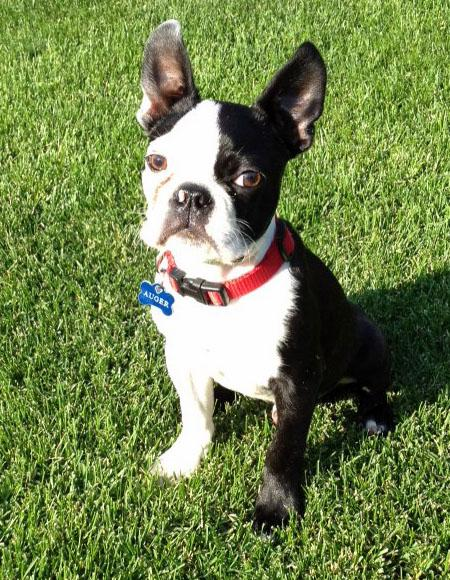 Auger the Boston Terrier Pictures 930110