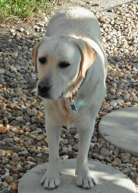 Augey the Labrador Retriever Pictures 477996