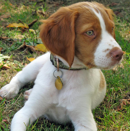 Augie the Brittany Pictures 661028