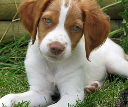 Augie the Brittany Pictures 661030