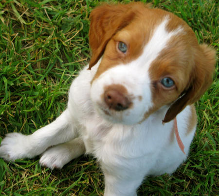 Augie the Brittany Pictures 661032