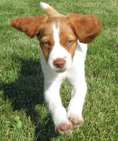 Augie the Brittany Pictures 661027