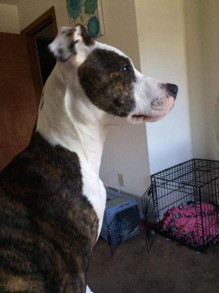 Aurora the Staffordshire Terrier Pictures 990251