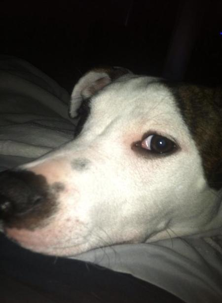 Aurora the Staffordshire Terrier Pictures 990252