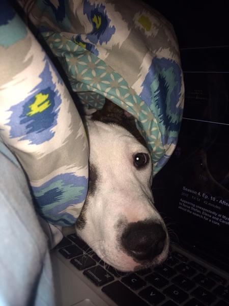 Aurora the Staffordshire Terrier Pictures 990259