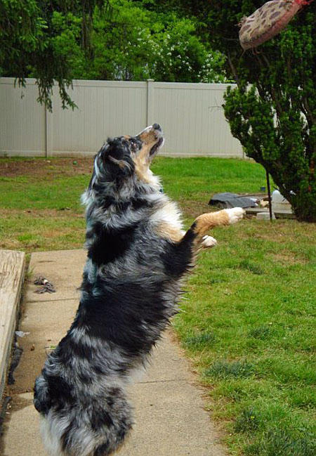 Austin the Australian Shepherd Pictures 647475