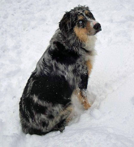 Austin the Australian Shepherd Pictures 647478