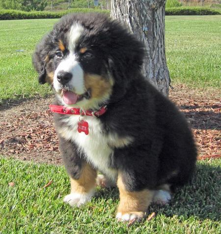 Austin the Bernese Mountain Dog Pictures 1027802