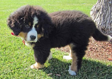 Austin the Bernese Mountain Dog Pictures 1027803
