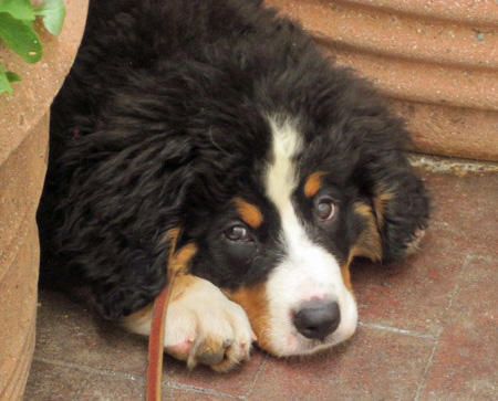 Austin the Bernese Mountain Dog Pictures 1027804