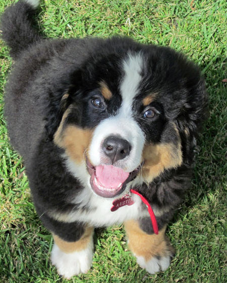 Austin the Bernese Mountain Dog Pictures 1027807