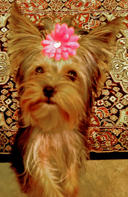 Ava Lynn the Yorkshire Terrier Pictures 993573