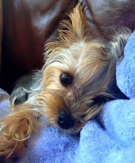 Ava Lynn the Yorkshire Terrier Pictures 993574