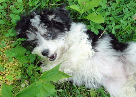 Avonlea the Havanese Pictures 900234