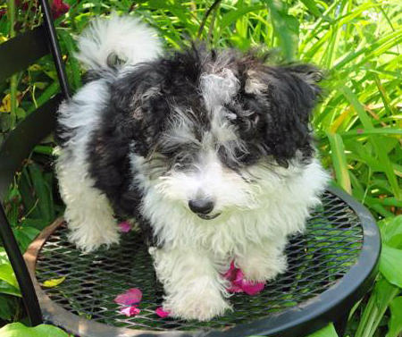 Avonlea the Havanese Pictures 900236