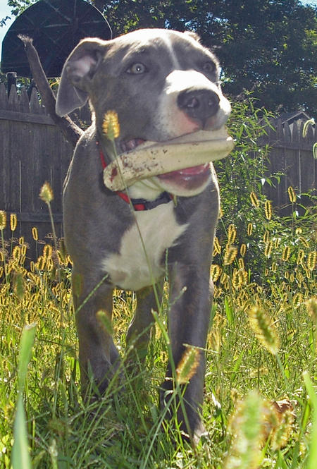 Axl the Bull Terrier Mix Pictures 928929