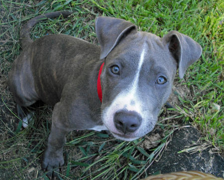 Axl the Bull Terrier Mix Pictures 928928