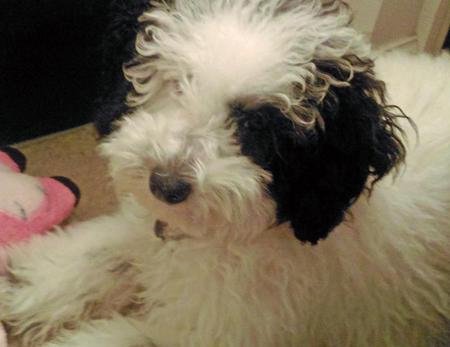 Baby Bear the Miniature Poodle Pictures 1053064
