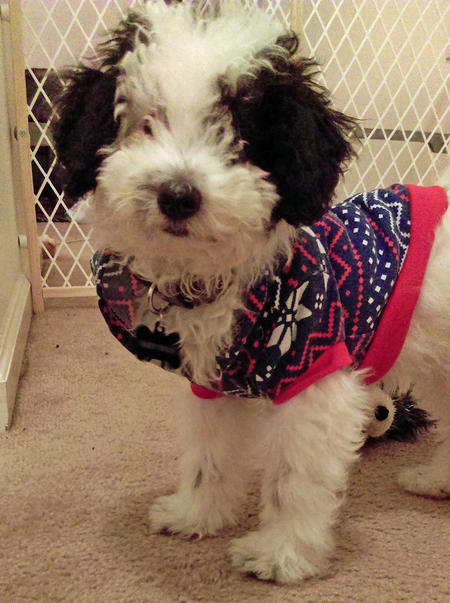 Baby Bear the Miniature Poodle Pictures 1053065