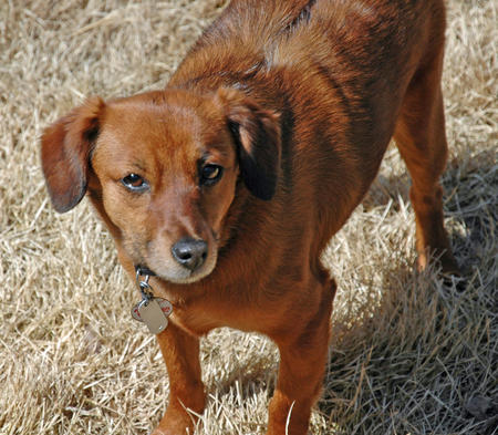 Bailey the Dachshund Mix Pictures 888156